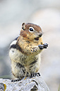 Canada, Alberta, Rocky Mountains, Jasper National Park, Banff Nationalpark, Canada, Alberta, Rocky Mountains, Jasper National Park, Banff Nationalpark, golden-mantled ground squirrel (Callospermophilus lateralis) eating on a rock - FOF005526