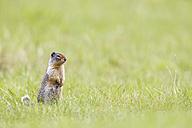 Canada, Alberta, Rocky Mountains, Jasper National Park, Banff Nationalpark, Columbian ground squirrel (Urocitellus columbianus) standing on a meadow - FOF005533