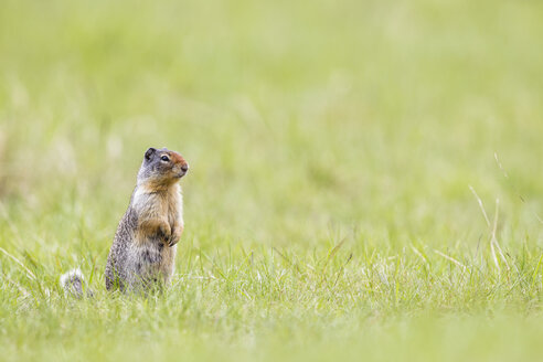 Canada, Alberta, Rocky Mountains, Jasper National Park, Banff Nationalpark, Columbian ground squirrel (Urocitellus columbianus) standing on a meadow - FOF005533