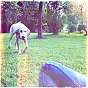 In the garden, dog playing with tennis ball, Dalmatian mix - ONF000360