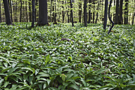 Germany, North Rhine-Westphalia, Eifel, Ramsons (Allium ursinum) in beech forest (Fagus) - GW002453