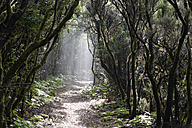 Spain, Canary Islands, La Palma, Cumbre Nueva, Cloud forest - SIEF004953