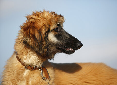 Portrait of afghan hound in front of sky, puppy - SLF000276