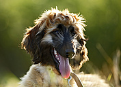 Portrait of afghan hound with outstretched tongue, puppy - SLF000283