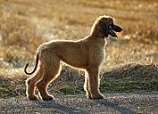 Afghan hound, puppy, standing in front of a stubble field - SLF000278