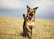 German shepherd mongrel running on a stubble field in front of sky - SLF000267