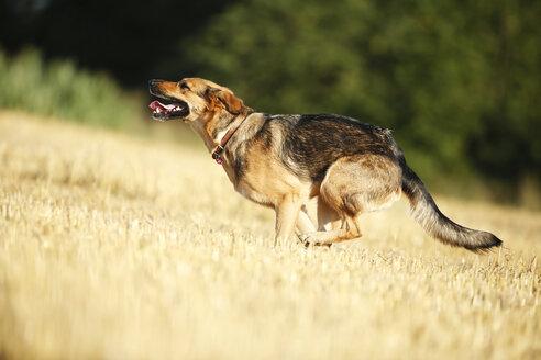 German shepherd mongrel running on a stubble field - SLF000268