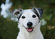 Germany, Baden-Wuerttemberg, Jack Russel Terrier, adult - SLF000271