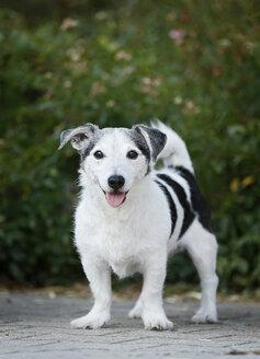 Germany, Baden-Wuerttemberg, Jack Russel Terrier, adult - SLF000272