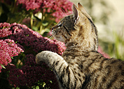 Portrait of tabby kitten watching something - SLF000248