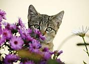 Tabby kitten behind pink blossoms - SLF000251
