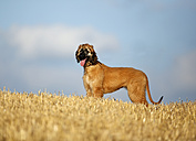 Afghan hound with outstretched tongue, puppy, standing on stubble field - SLF000282