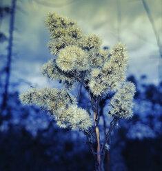 Thistle flowers, Bavaria, Germany - MAEF007598
