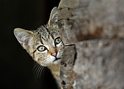 Portrait of peeking tabby cat - SLF000258