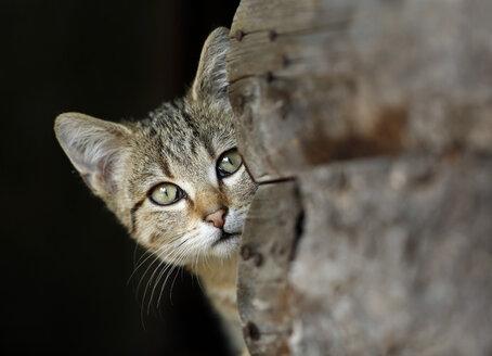 Portrait of peeking tabby cat - SLF000258