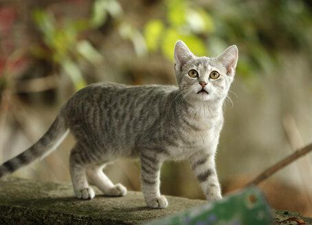 Young cat observing birds - SLF000260