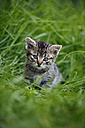 Tabby kitten (felis silvestris catus) sitting on grass - SLF000273