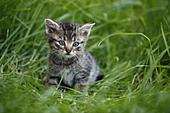 Tabby kitten (felis silvestris catus) sitting on grass - SLF000255