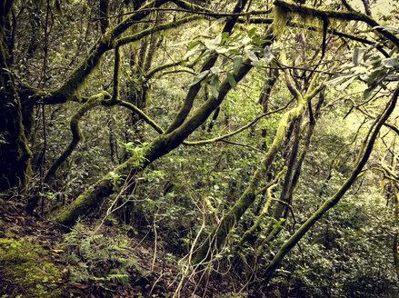Cloud forest in Garajonay National Park, La Gomera, Spain - DISF000355