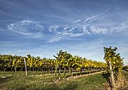 Austria, Lower Austria, Wine Quarter, Straning, vines in the autumn - DISF000385