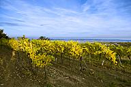 Austria, Lower Austria, Wine Quarter, Straning, vines in the autumn - DISF000381