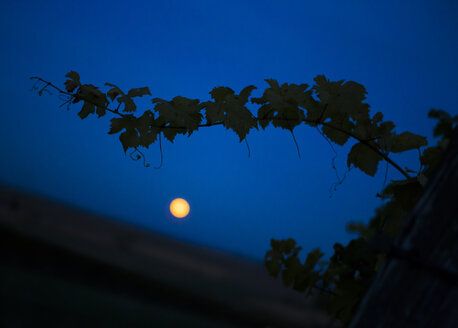 Austria, Lower Austria, Wine Quarter, Straning, grapevine and full moon at night - DISF000384