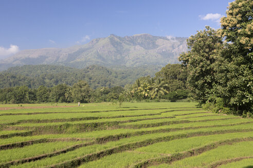 Sri Lanka, Tangale, rice fields - DRF000447