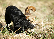 Two mongrels playing together on a meadow - SLF000302