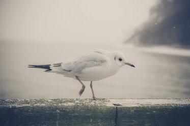 Germany, Mecklenburg-Western Pomerania, Ruegen, Seagull at the coast - MJF000582