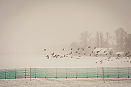 Germany, Mecklenburg-Western Pomerania, Ruegen, Grey geese flying in winter - MJF000660