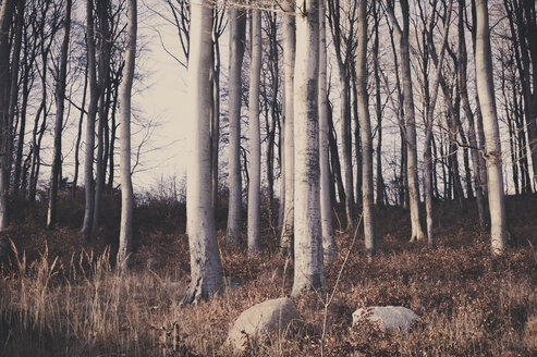 Germany, Mecklenburg-Western Pomerania, RuegenBeech forest in Jasmund National Park - MJF000566