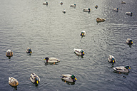 Ducks on lake in winter - MJF000689