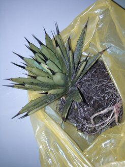 Agave macroacantha having all soil removed and being cleaned in the shower, Bonn, North Rhine-Westphalia, Germany - MFF000767