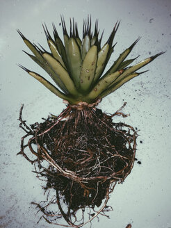 Agave macroacantha having all soil removed and being cleaned in the shower, Bonn, North Rhine-Westphalia, Germany - MFF000770