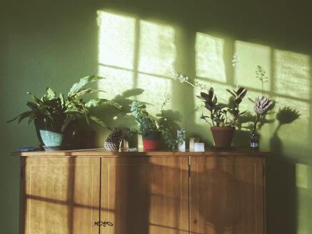 Fern and Ludisia discolor as well as other plants on a cupboard in the sunlight - MEAF000110