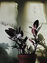 Ludisia discolor in a pot at home, Bonn, North Rhine-Westphalia, Germany - MFF000801
