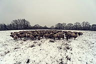 Germany, Rhineland-Palatinate, Neuwied, flock of sheep standing on snow covered pasture - PA000295