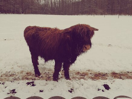 Germany, Thuringia, city of Heiligenstadt, young Highland cow on snowy pasture - BRF000050