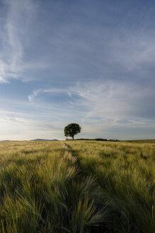 Germany, Rhineland-Palatinate, Vulkan Eifel, wheat field and single tree on the horizon - PAF000306