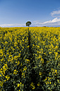 Germany, Rhineland-Palatinate, Vulkan Eifel, rape field (Brassica napus) and single tree on the horizon - PAF000305
