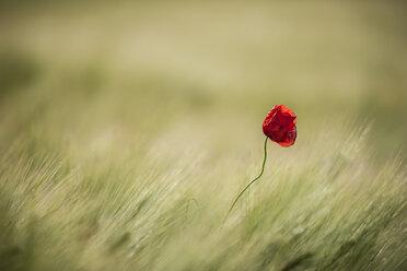 Germany, Rhineland-Palatinate, Vulkan Eifel,single poppy blossom (Papaver rhoeas) in between wheat field - PAF000300
