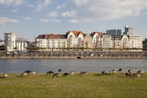 Germany, North Rhine-Westphalia, Duesseldorf, geese on the Rhine riverbank - WIF000330