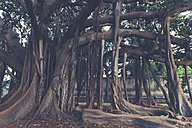 Italy, Sicily, Palermo, Giant rubber tree at the Botanical Garden - MF000827