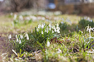 Germany, snowdrops on a meadow - MJF000766