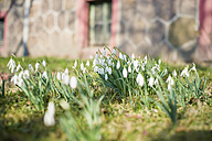 Germany, snowdrops on a meadow - MJ000767
