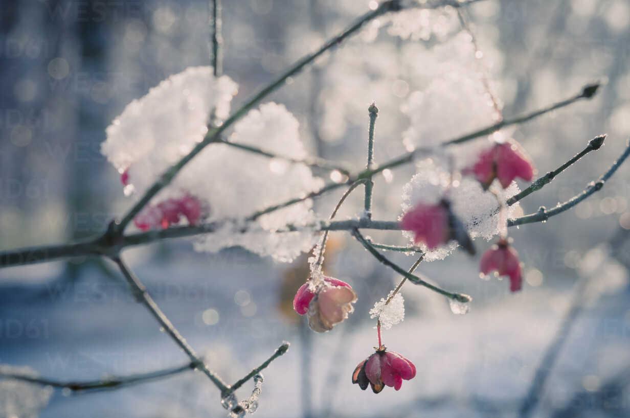 Snow covered spindle tree (European Evonymus), close-up - MJF000772 - Jana Mänz/Westend61