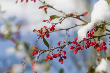 Snow covered plant with red berries, close-up - MJF000786