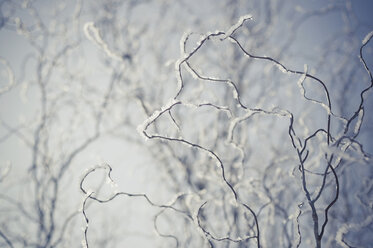 Snow covered twigs, close-up - MJF000788