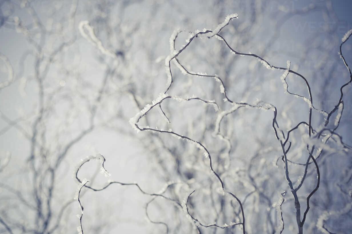 Snow covered twigs, close-up - MJF000788 - Jana Mänz/Westend61