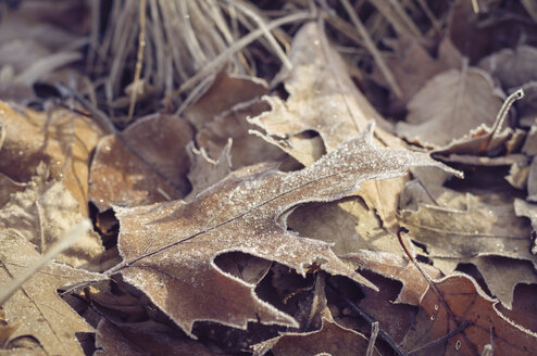 Frozen autumn leaves - MJF000800